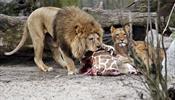 Во имя добра - жирафа убили и скормили львам