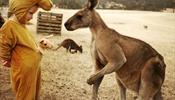 Мальчика спас кенгуру