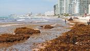 Карибские пляжи Мексики проигрывают битву водорослям